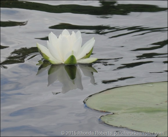 Water lily Crystal River